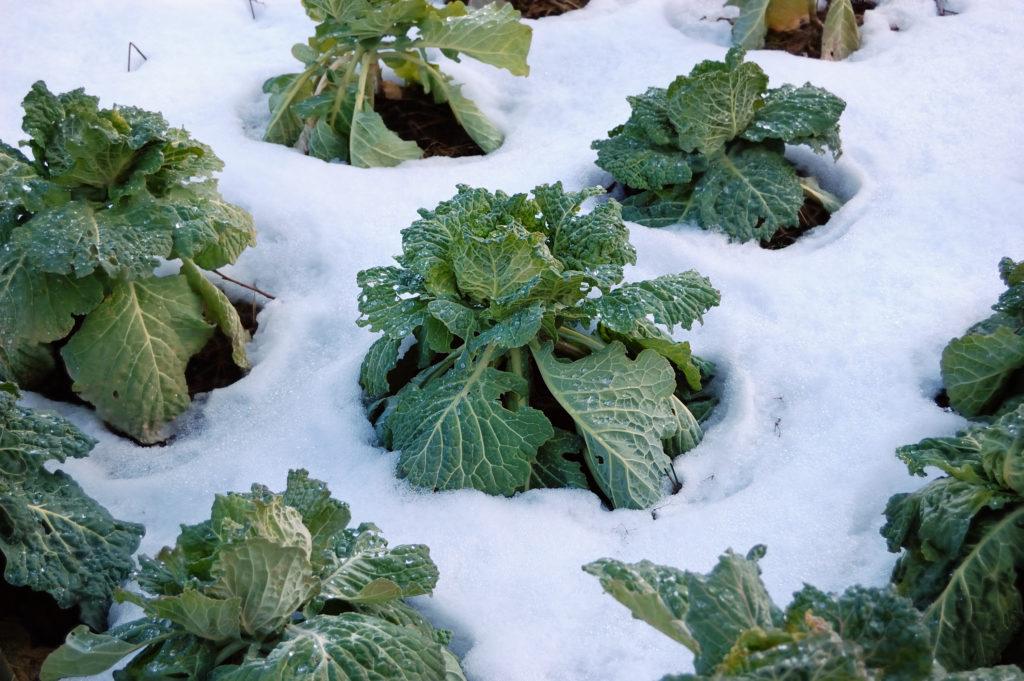 Plants de choux recouverts de gel