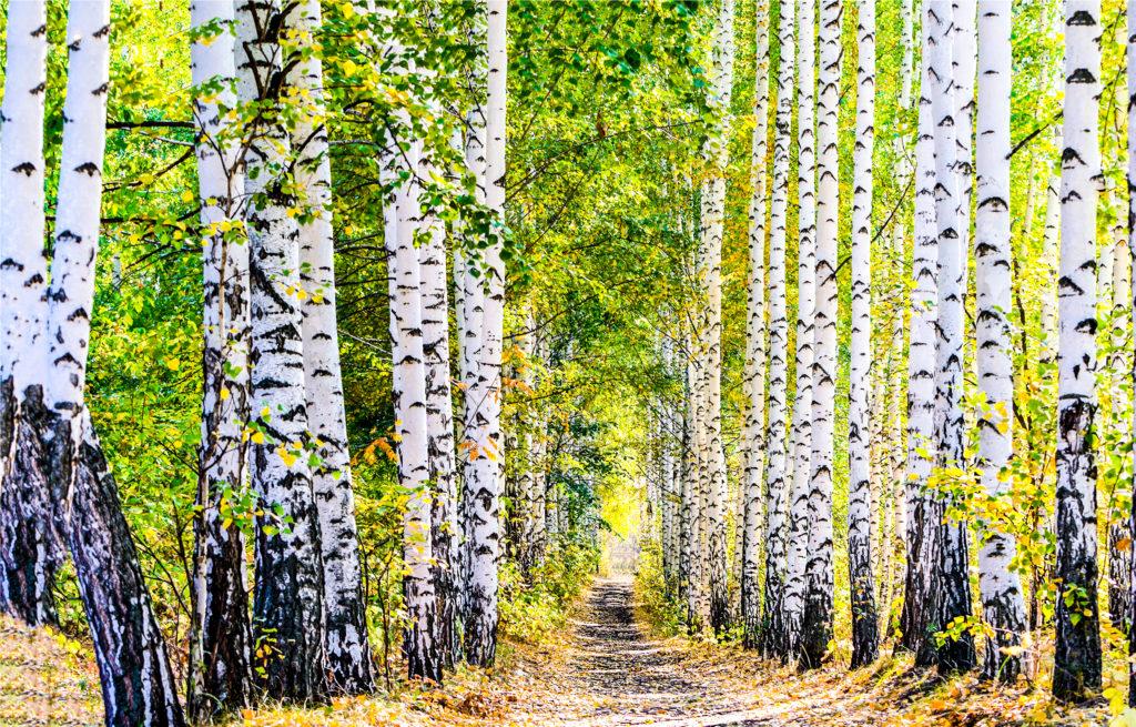 Forêts de bouleau bio