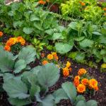 Potager réaliser en associant des légumes aux fleurs et aromates